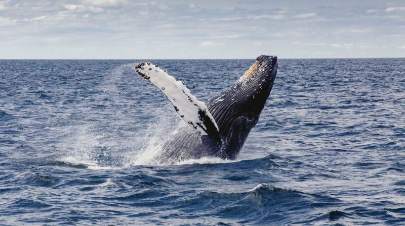 whale watching tour uvita costa rica