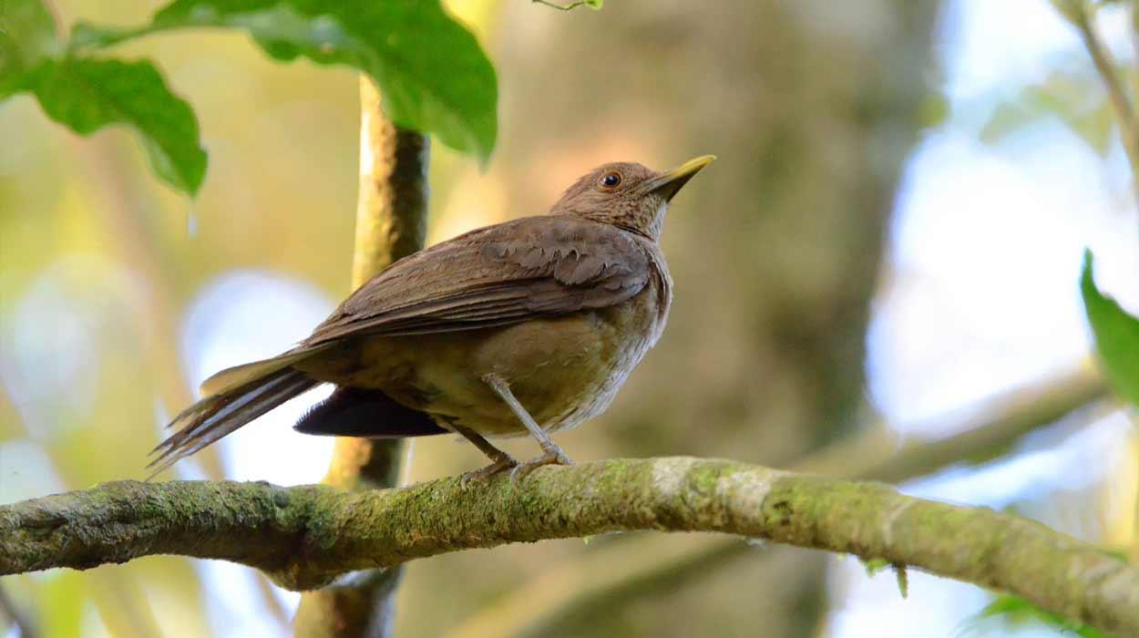 costa-rican-national-bird