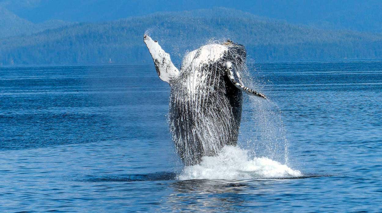 Temporada de avistamiento de ballenas en Costa Rica
